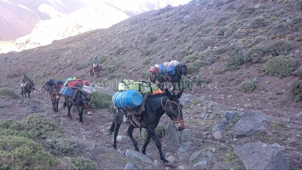 アコンカグア登山:ラバに荷物を運んでもらう