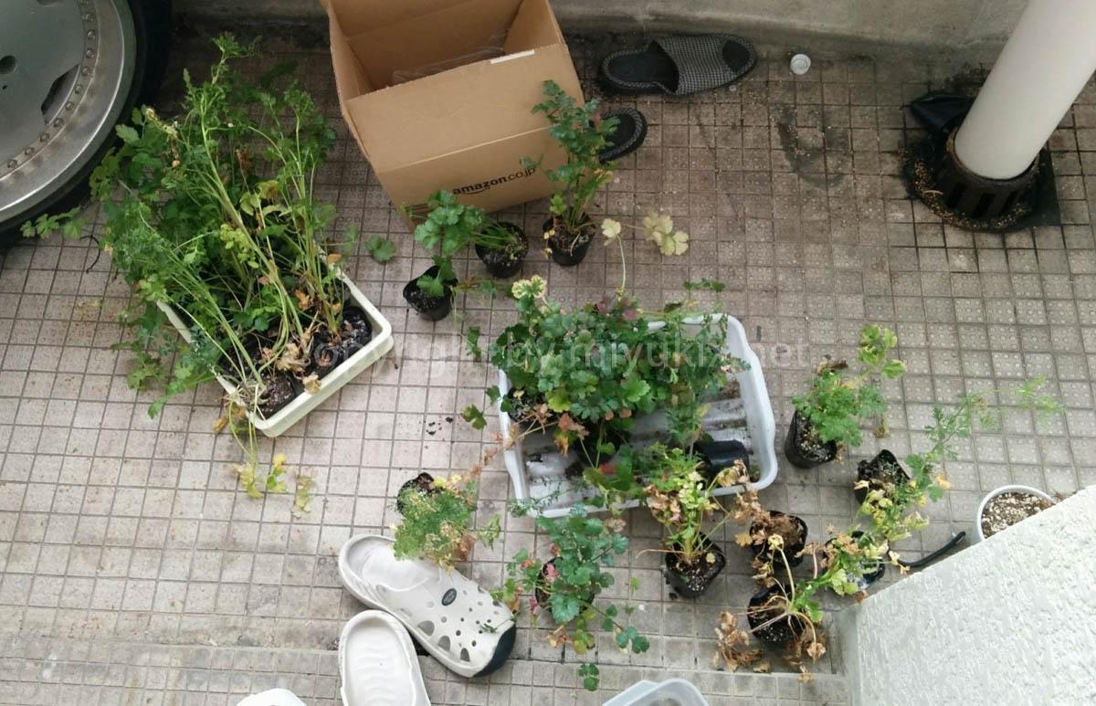 パクチーを栽培する